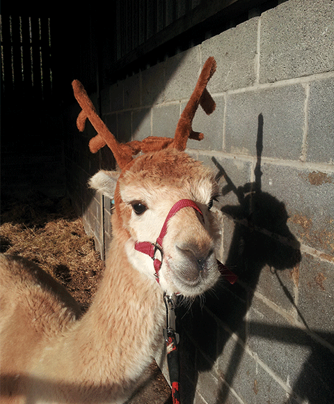 Fudge-Reindeer